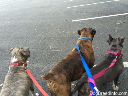The back of three dogs that are standing on a blacktop surface looking across a parking lot.