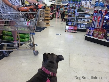 The back of a blue nose American Bully Pit that is standing on a tiled floor in a pet store looking at another dog.