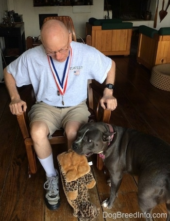 A blue nose American Bully Pit is standing next to a man in a rocking chair. The man is looking down at the dog.