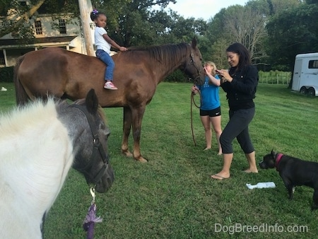 A little girl in a white shirt is sitting on the back of a brown with white Horse. There is a blonde haired girl standing in front of a horse. There is a smaller pony in front of them. A blue nose American Bully Pit is standing in grass and in front of a bottle of fly spray. There is a lady in a black shirt walking across the lawn with a phone in her hand.