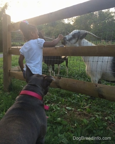 A little girl in a white shirt is feeding a goat through a fence. There is an American Bully dog watching them.