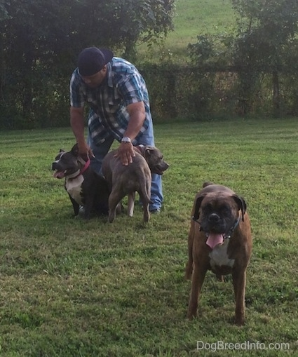A blue nose American Bully Pit and a blue nose Pit Bull Terrier are standing in front of a man with a backwards blue hat. The man is petting the two dogs near him. There is a brown brindle Boxer standing in grass away from them.