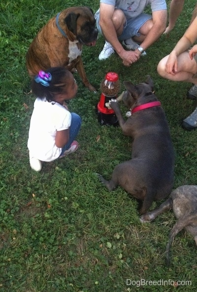A blue nose American Bully Pit is laying on grass and she is hitting the lever to a Yuppy-Puppy Treat Machine. There is a little girl in a white shirt sitting next to a brown brindle Boxer.