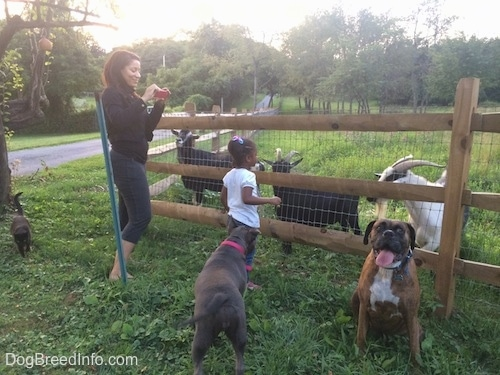 A lady in a black jacket is taking a picture of a girl in a white shirt feeding goats. A black cat is walking across the field. A blue nose American Bully Pit is looking at the girl in a white shirt. There is a brown brindle Boxer sitting with his mouth open and tongue out.