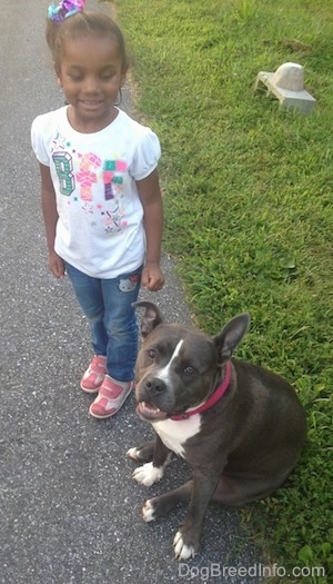 A little girl is standing next to a blue nose American Bully Pit that is sitting in grass.