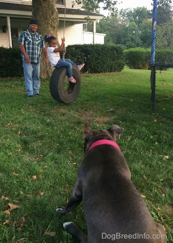 The back of a blue nose American Bully Pit is sitting in grass and she is looking at a man push a little girl on a tire swing.