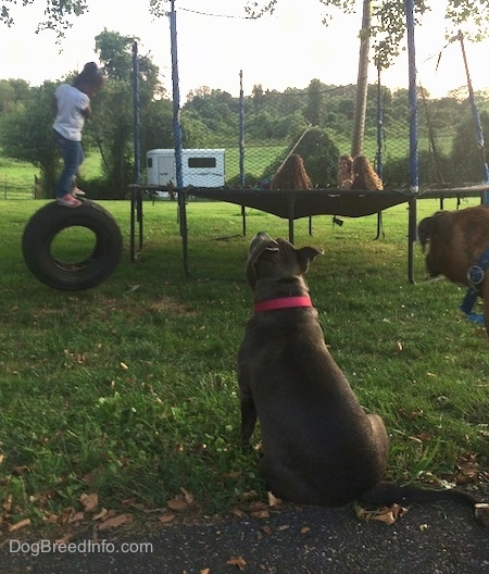 The back of a blue nose American Bully Pit is sitting in grass and she is sniffing the air and looking a small child holding onto a tire swing. There are four girls sitting on a trampoline