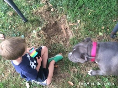 A blue nose American Bully Pit is walking to a boy who is looking at the hole she dug.