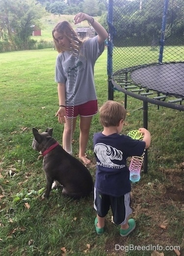 A girl holding a slinky is standing behind a blue nose American Bully Pit that is sitting. There is a boy with a rainbow slinky in his hands.