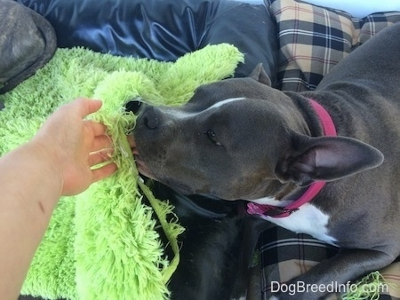 A blue nose American Bully Pit is licking the hands of a person thats hand is sticking through a ripped green rug.