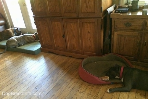 A blue nose American Bully Pit is laying on a dog bed and she is biting a dog bone. There is a brown brindle Boxer and a blue nose Pit Bull Terrier laying on a green orthopedic dog bed pillow in front of a white door.