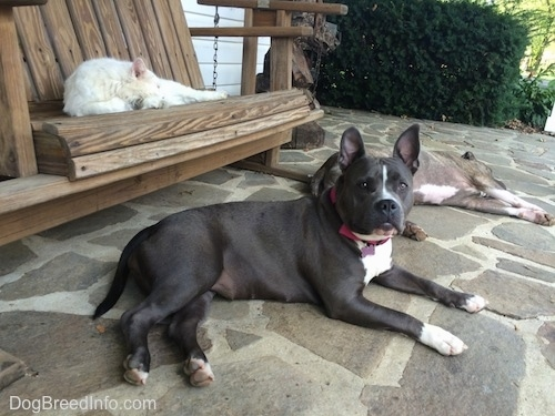A blue nose American Bully Pit is laying on a stone porch and next to her laying on his side is a blue nose Pit Bull Terrier. There is a white cat sleeping on a wooden porch swing behind them.