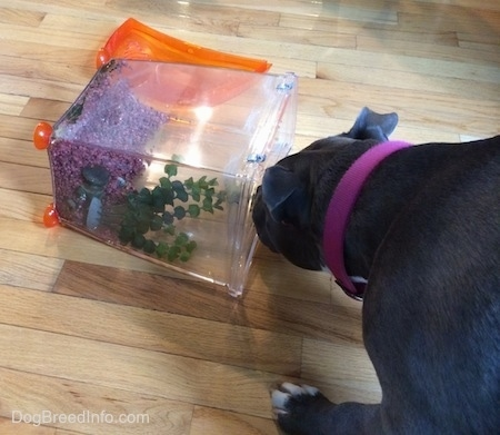 A blue nose American Bully Pit is sniffing a fallen over fish tank on a hardwood floor.
