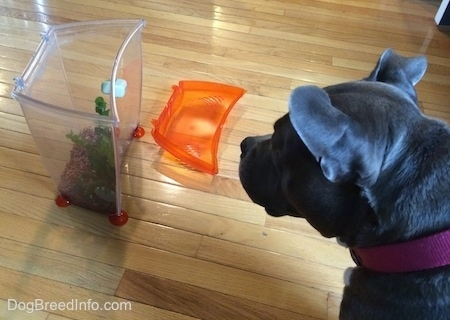 A blue nose American Bully Pit is sitting on a hardwood floor and she is looking at a right side up clear plastic fish tank. The lid to the tank is on the floor next to her.