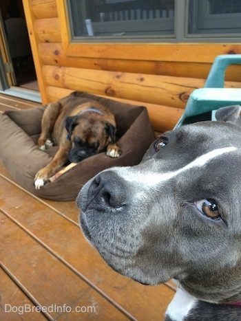 The face of a blue nose American Bully Pit is looking back. There is a brown brindle Boxer laying down on a dog bed and he is chewing a bone. They are on the porch of a log cabin.