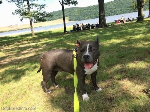 A blue nose American Bully Pit is standing in grass. She has her mouth open and her tongue is out. There are a lot of people and a body of water in the background.