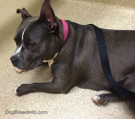 A blue nose American Bully Pit is laying on a floor and she is looking forward.