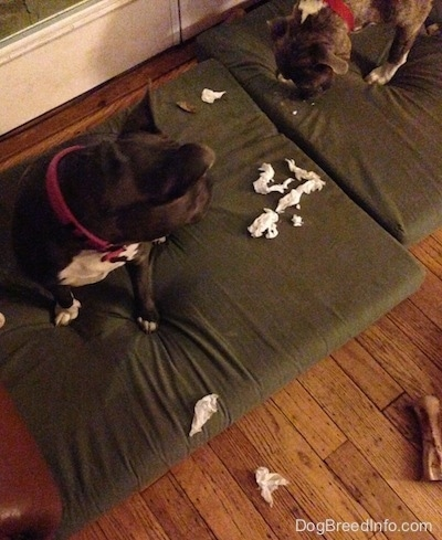 A blue nose American Bully Pit is sitting on a green orthopedic dog bed pillow looking down at chewed up paper towels. She is looking at a blue nose Pit Bull Terrier who is looking at the mess.