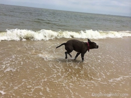 A blue nose American Bully Pit is running out of the water as a wave crashes behind her.