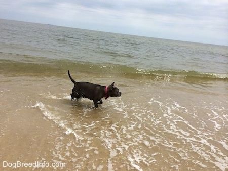 A blue nose American Bully Pit is running across sand and her feet are covered in water.