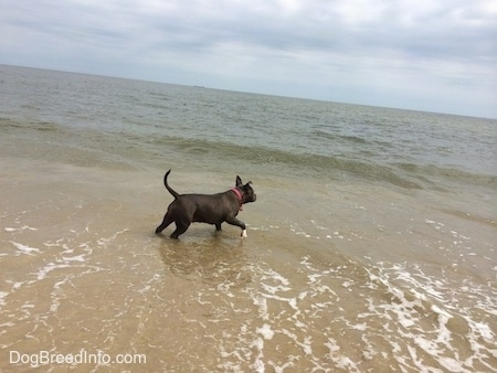 A blue nose American Bully Pit is jumping across a body of water.