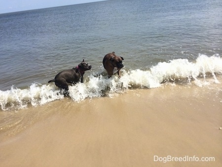 A brown brindle Boxer and a blue nose American Bully Pit are standing in descending waves on a beach.
