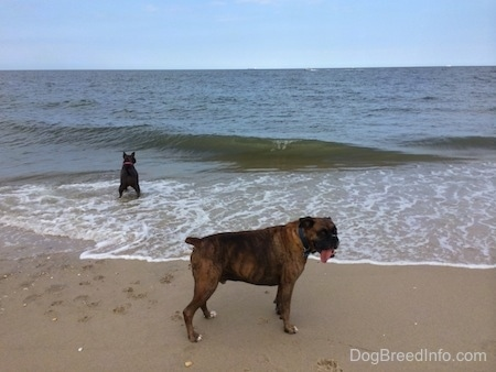 A blue nose American Bully Pit is in water with a wave about to break on her. A brown brindle Boxer is in the sand on shore.