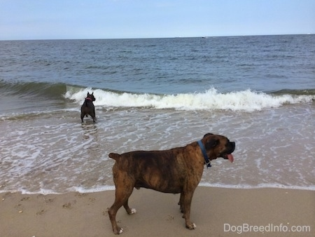 A blue nose American Bully Pit is in water with a wave about to break on her. A brown brindle Boxer is in the sand on shore facing the right.