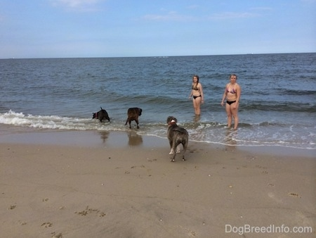 A blue nose American Bully Pit is biting at a wave. A brown brindle Boxer is looking down at the water coming in. A blue nose Pit Bull Terrier is looking at the other dogs play in the waves.