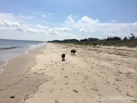 The back of two dogs that are walking across sand next to the water at a beach.