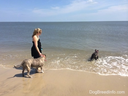 A girl wrapped in a black dress is holding on to the collar of a blue nose Pit Bull Terrier. Standing in the water is a blue nose American Bully Pit.