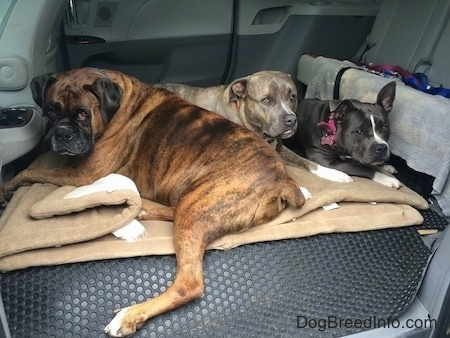 Three dogs are laying in the middle area of a van that has its seats removed on dog beds.