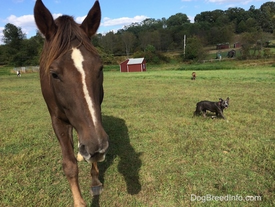 A brown with white horse is standing in grass. To the right of the horse is a blue nose American Bully Pit dog walking across a field and in the background is a brown brindle Boxer, two red lean-to shelters, a round pen, rodeo poles and a brown and white paint pony.