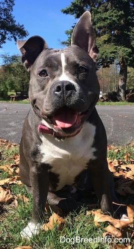 A big-headed, wide-chested, thick-bodied, happy-looking blue nose American Bully Pit is sitting in grass looking forward with a black top surface behind her. One of her ears is up and the other is flopped over, her mouth is open and it looks like she is smiling.
