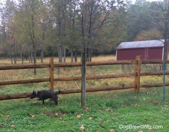 A blue nose American Bully Pit is walking across a wooden and wire fence. There is a red lean-to shelter in the field behind the fence.