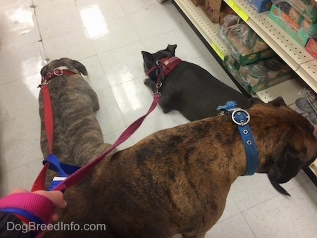 A blue nose American Bully Pit and a blue nose Pit Bull Terrier are laying on a tiled floor in a Pet Store. There is a brown brindle Boxer dog behind them looking at food on a shelf.