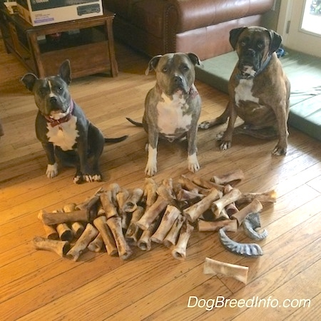 A blue nose American Bully Pit, a blue nose Pit Bull Terrier and a brown brindle Boxer are sitting behind a big pile of bones on a hardwood floor.
