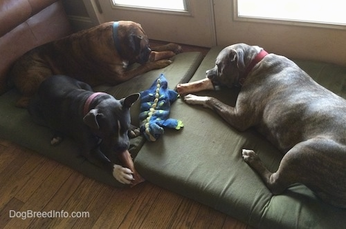 A blue nose American Bully Pit, a blue nose Pit Bull Terrier and a brown brindle Boxer are laying on a green orthopedic dog bed pillow and they are each chewing on a bone.