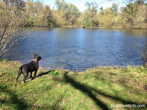 A blue nose American Bully Pit is standing in grass on the bank of a pond looking into the water.