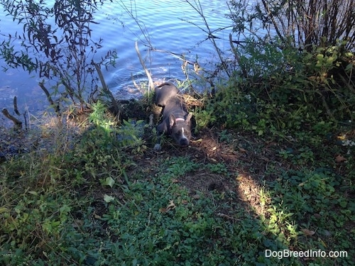 A blue nose American Bully Pit is pulling herself out of a pond.