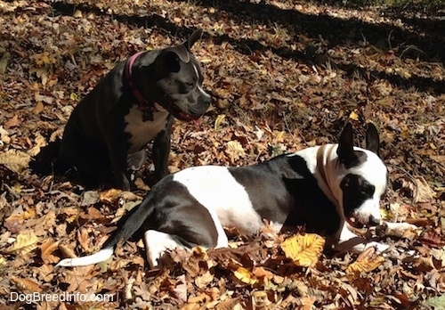 A blue nose American Bully Pit dog is sitting in leaves and looking down at a black and white Frenchie Staffie dog that is laying down and chewing on a stick.