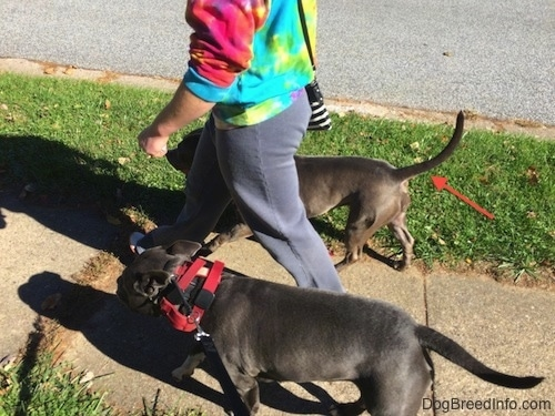 A lady in a tye dye hoodie is standing in between two dogs and walking them across a sidewalk. A red arrow is pointing at one of the dog's tail.