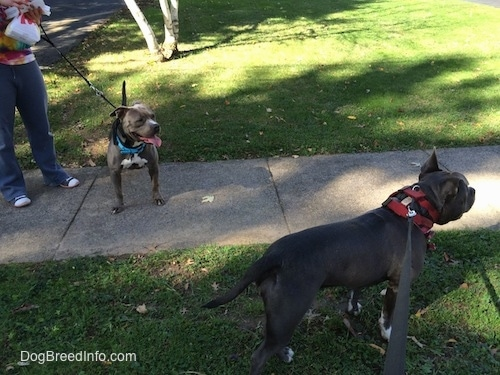 A grey with white Pit Bull Terrier is standing on the sidewalk with her mouth open and her tongue out. A black with white American Bully is standing on grass and it is looking to the right.
