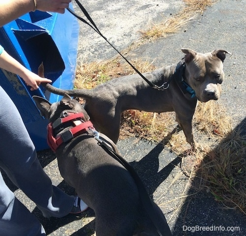 A blue nose American Bully Pit is sniffing the back end of an American Pit Bull Terrier. A person is pushing the tail of the Pit Bull Terrier dog down.