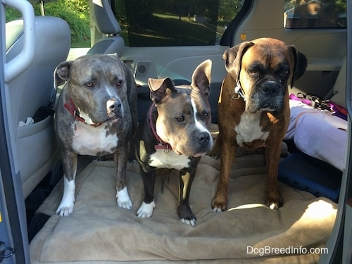 Spencer the Pit Bull Terrier,  Mia the American Bully and Bruno the Boxer sitting in a van