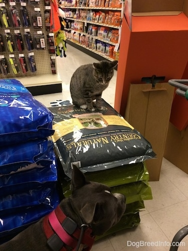 A cat is sitting on a pile of dog food in a Pet Store. The cat is looking down at a blue nose American Bully Pit dog that is walking by.
