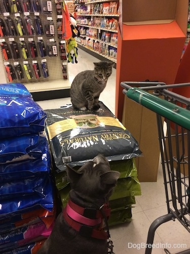 A cat is sitting on a pile of dog food in a pet store looking down at a blue nose American Bully Pit dog who is looking up at the cat. There is a green shopping cart to the right of them.