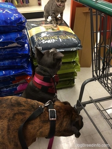 A cat that is sitting on a pile of dog food is preparing to attack a blue nose American Bully Pit. A brown with balck and white Boxer has his head down and is looking over at the dog food.