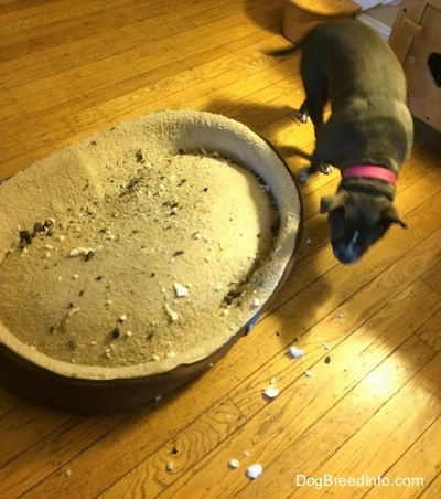 There are pieces of chewed up paper and dirt around a dog bed. A blue nose American Bully Pit dog is walking around a dog bed.