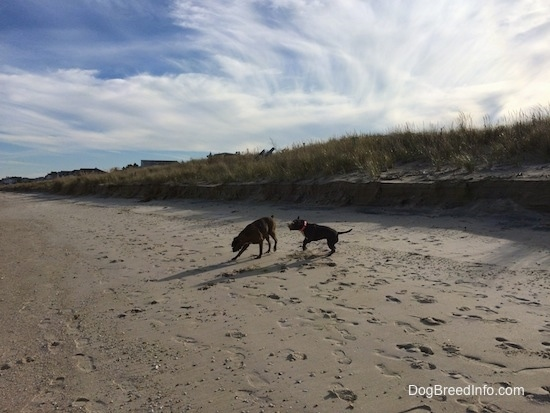A blue nose American Bully Pit is jumping in sand and a brown brindle Boxer is digging in the sand on a beach.